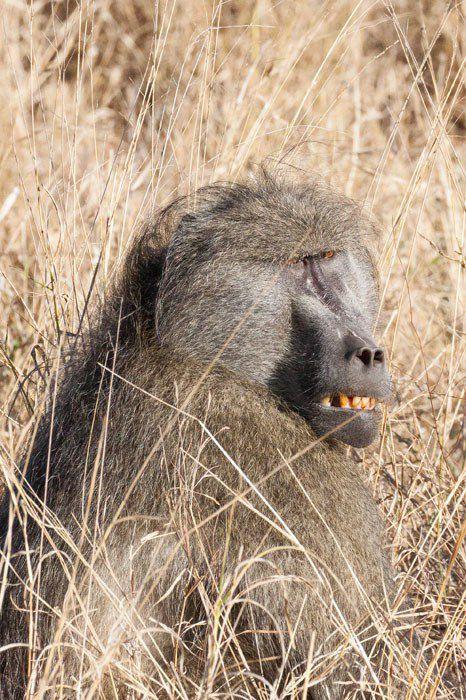 Baboon Tamboti