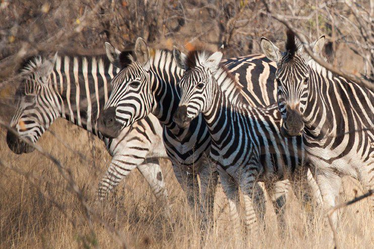 Zebras Kruger