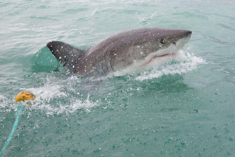 Shark South Africa
