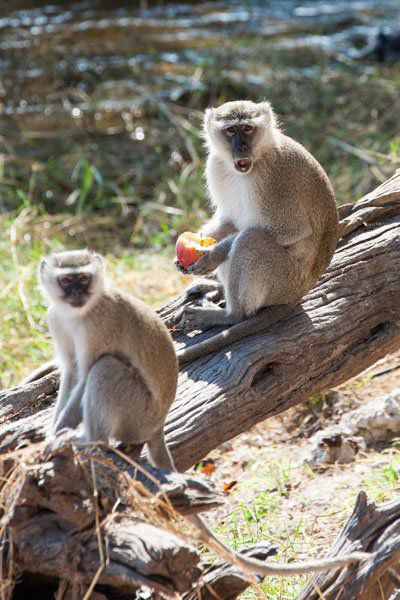 Chobe Monkeys