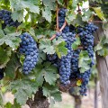 Grapes Maipo Wine