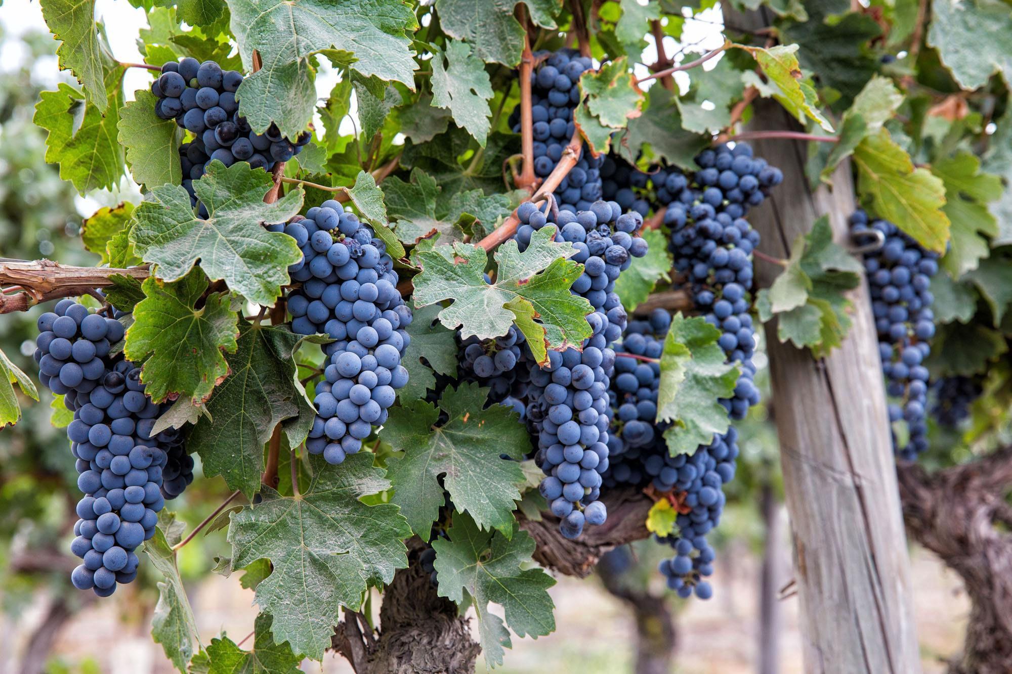 Grapes Maipo Wine