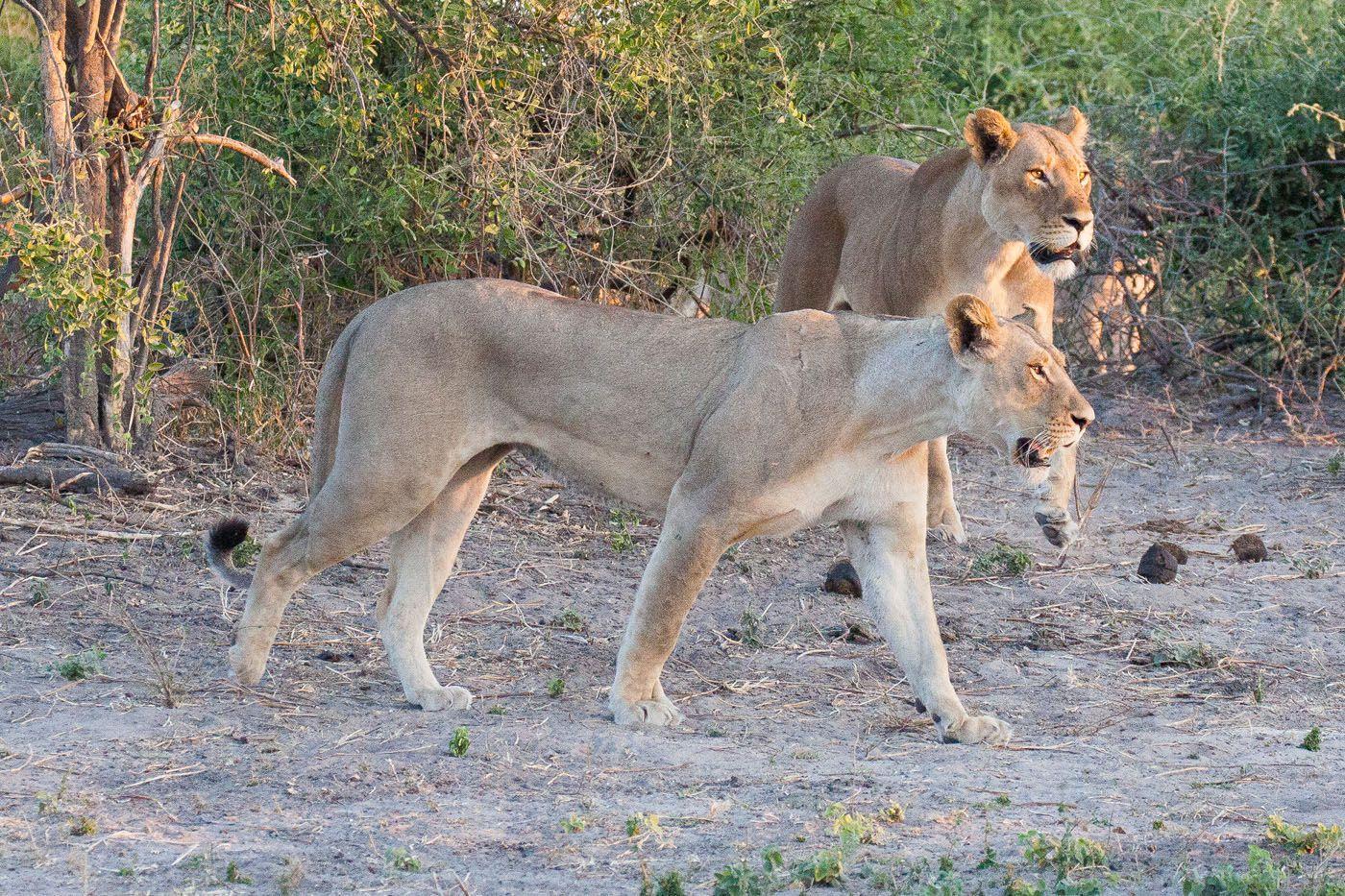 Lions Chobe Safari