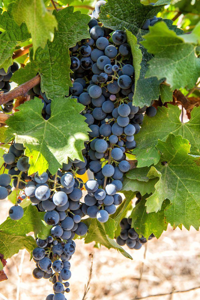 More Grapes Maipo Valley