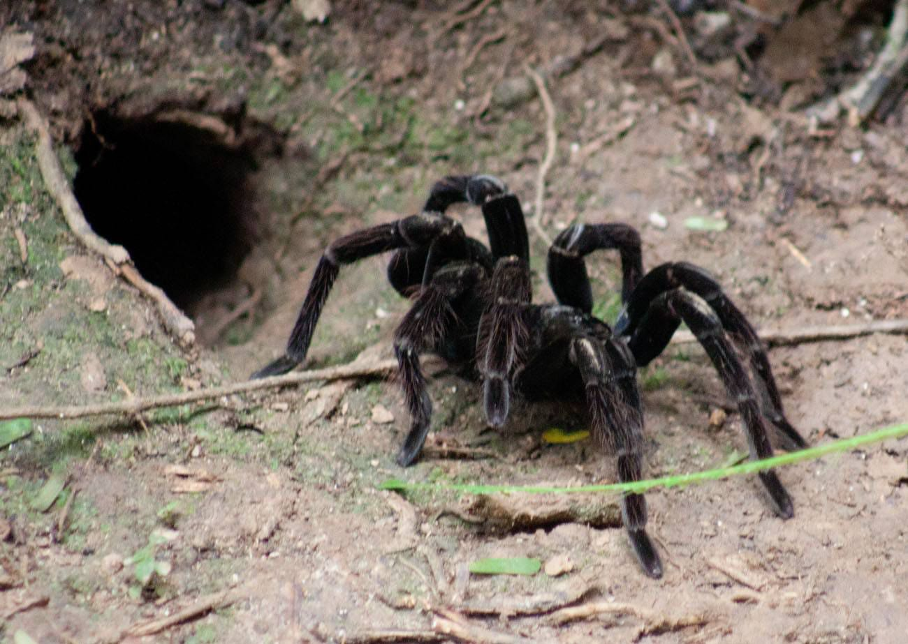 Tarantula in Amazon Rainforest
