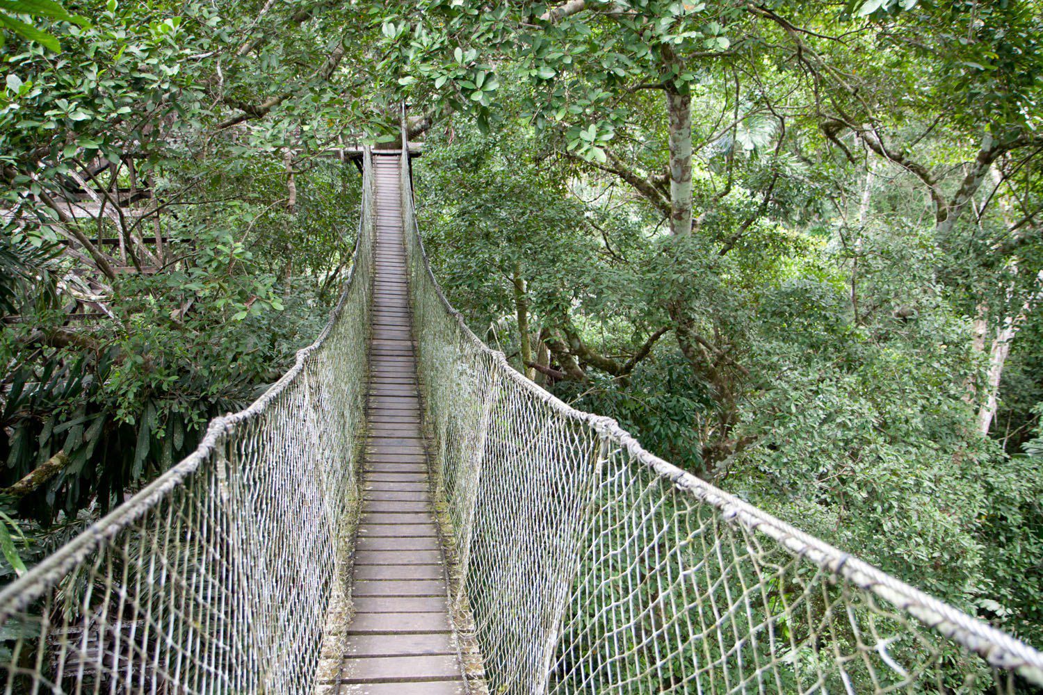 Tree Top Canopy Bridge Amazon