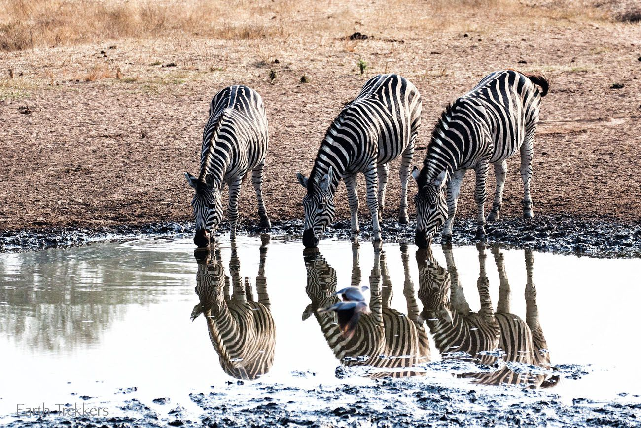Zebras at Kruger South Africa