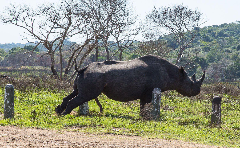 Masturbating Rhino