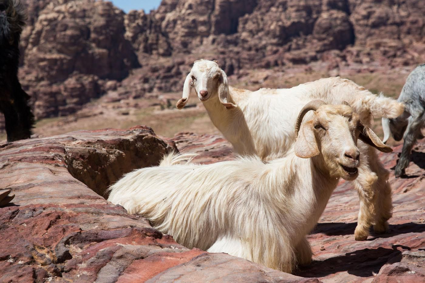 Goats in Petra