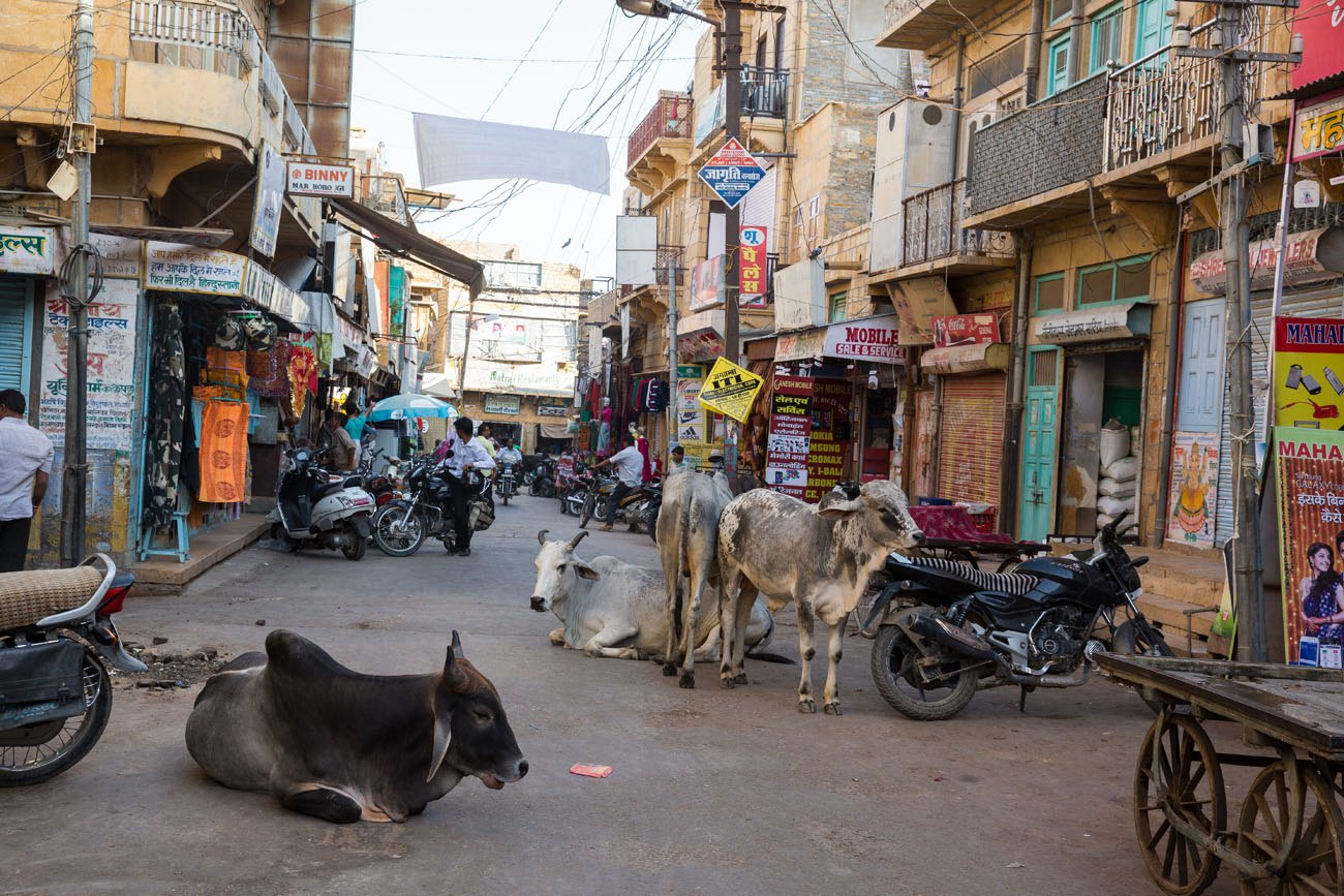 India Cows