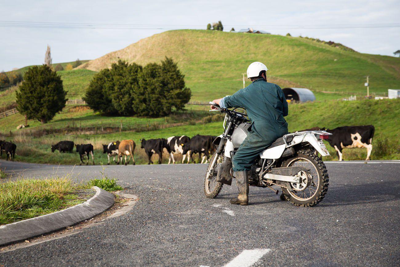 Sheep Herding by Motorcycle