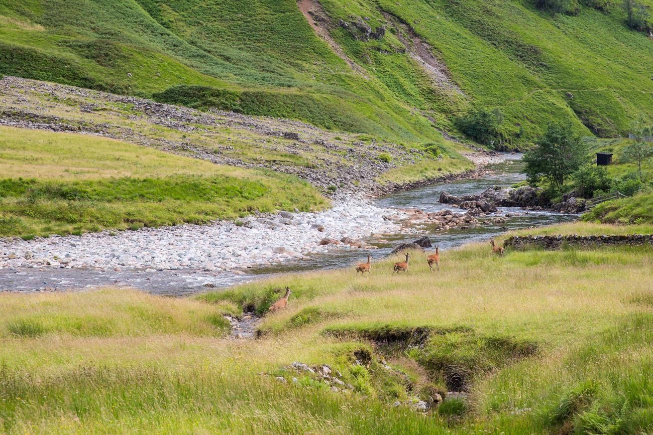 Scotland Deer
