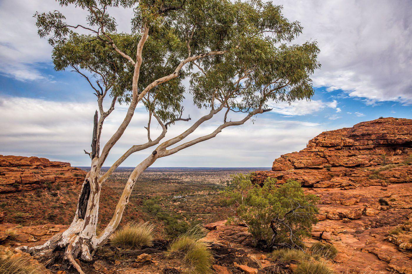 Desert Tree Australia