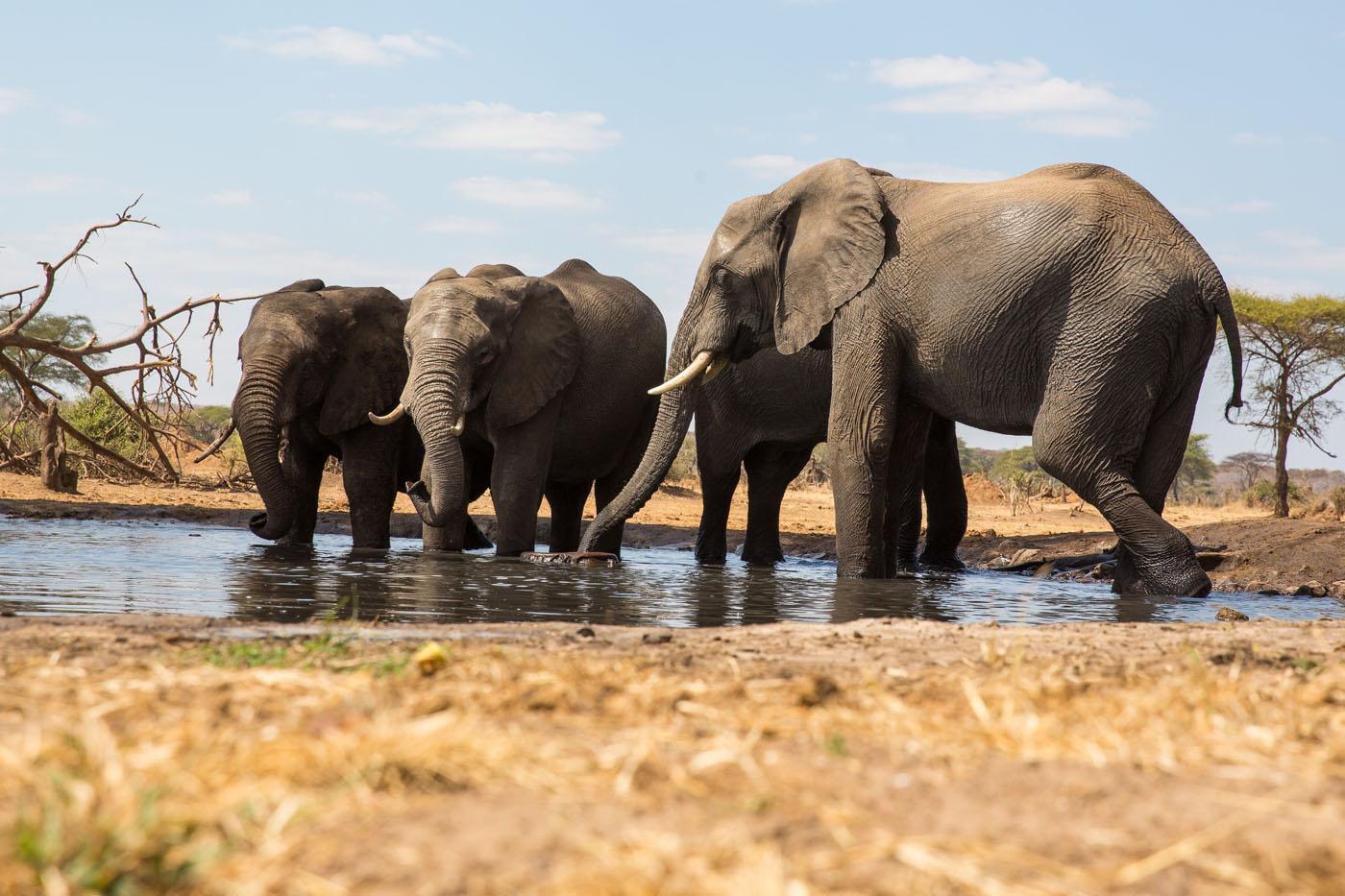 Elephants Senyati