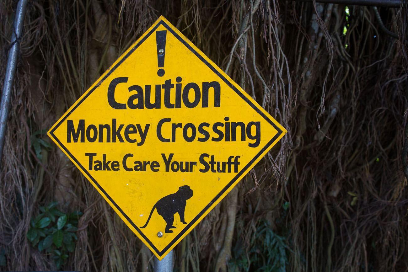 Monkey crossing Bali