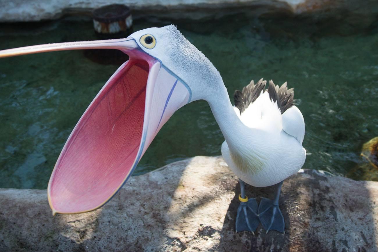 Crazy pelican