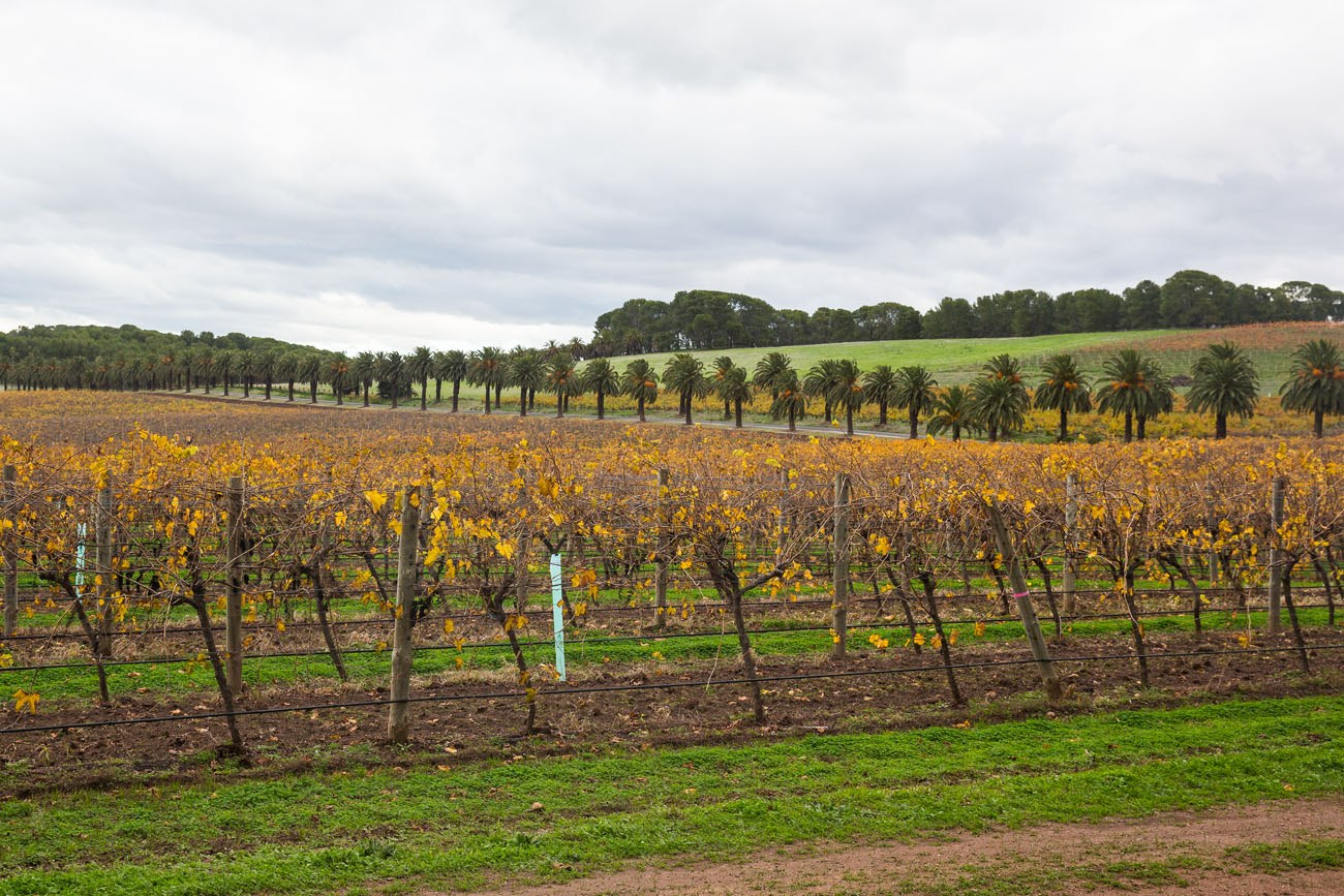 Australia Vineyard in Autumn