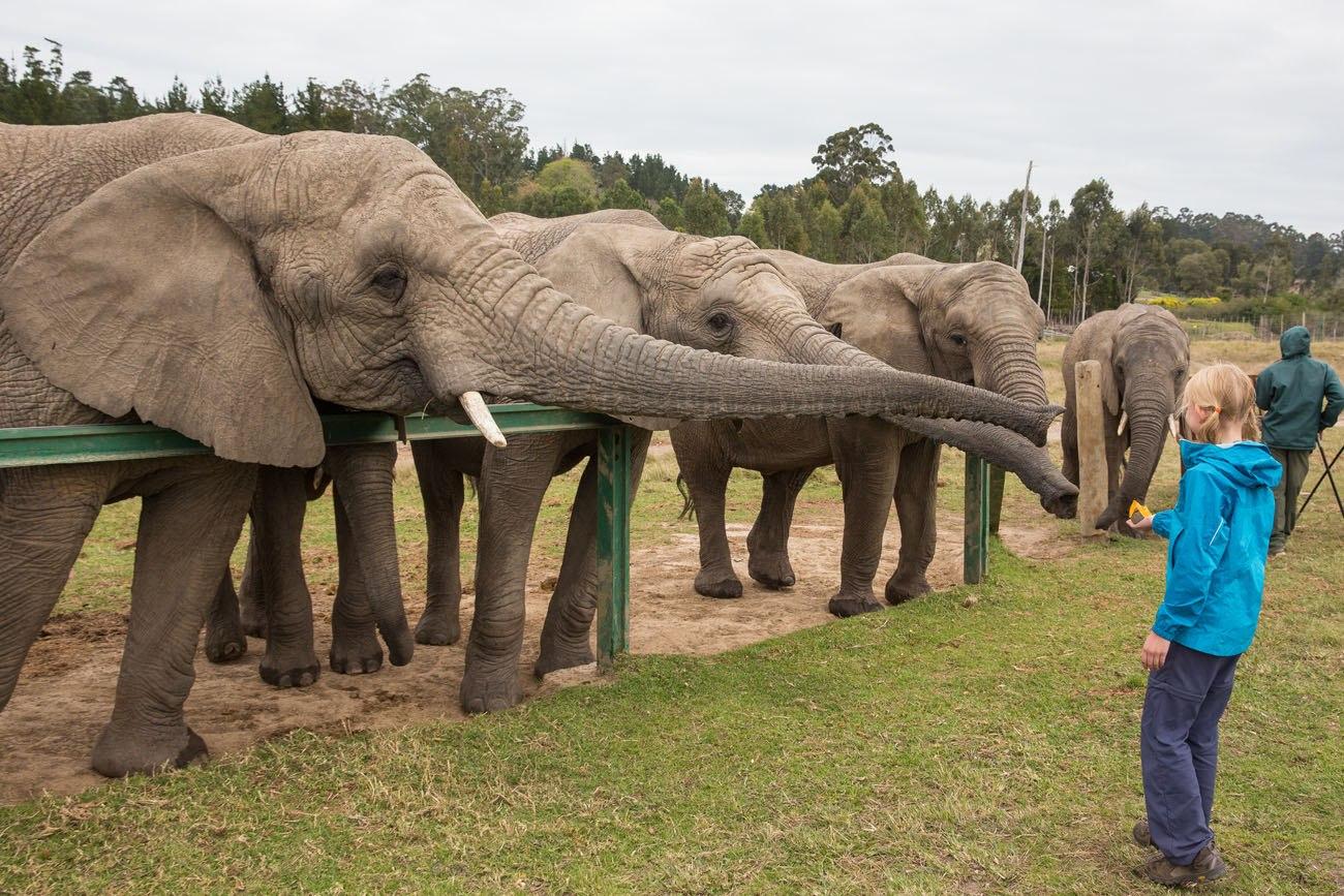 Feeding African elephants