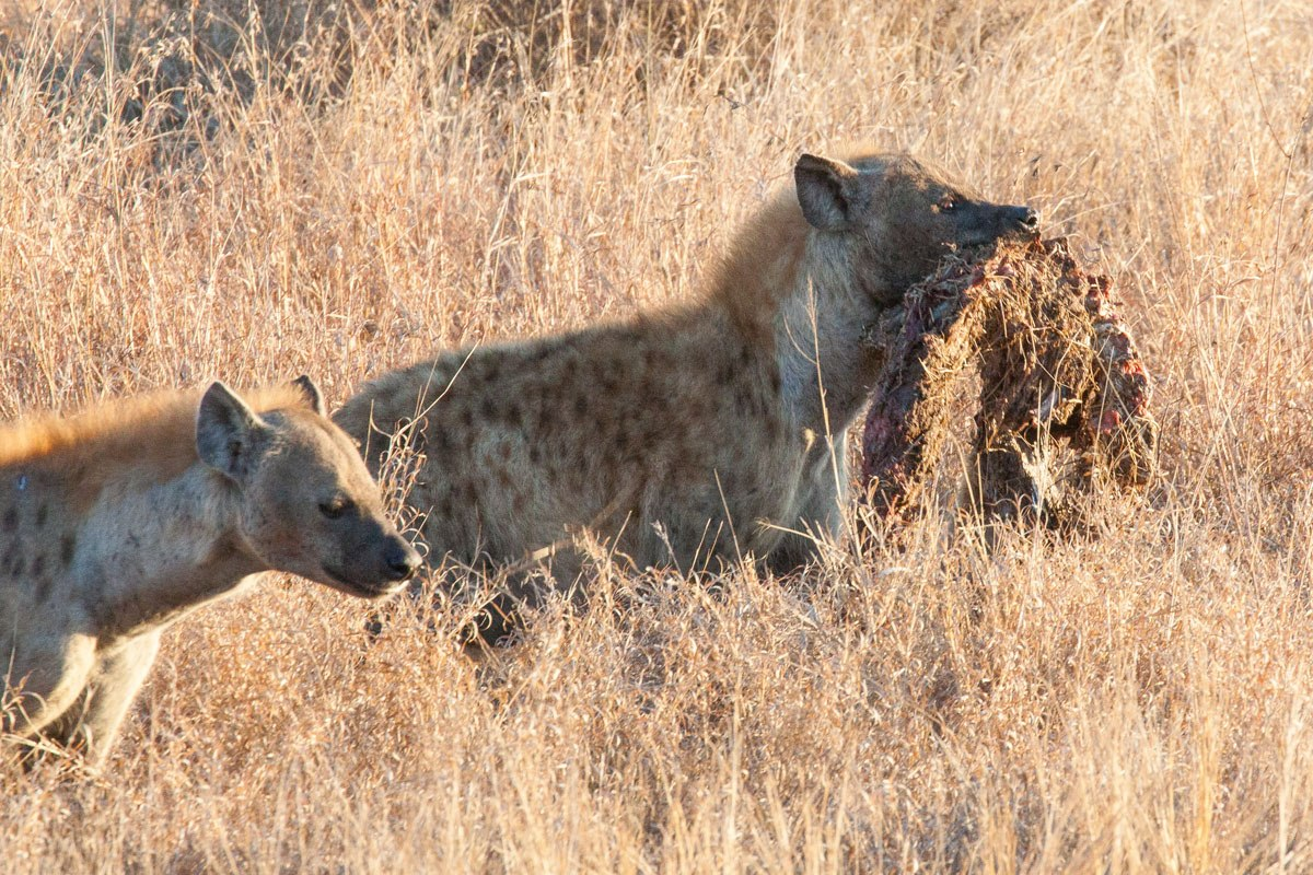Hyena with Carcass