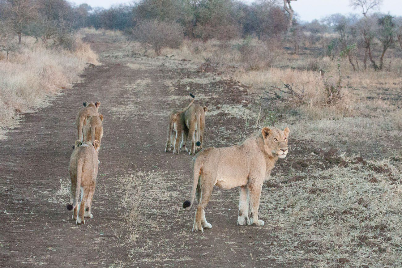 Lions on the Prowl