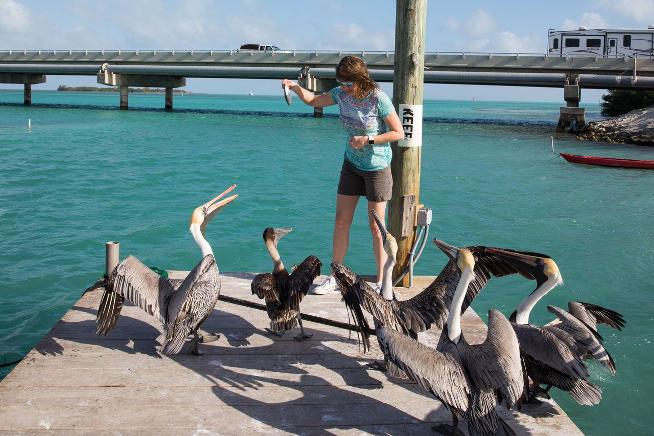 Cornered by Pelicans