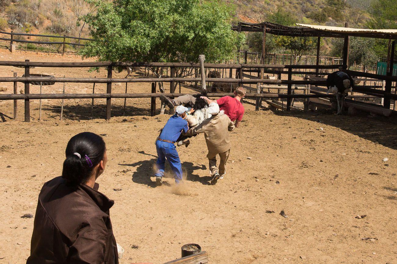 Tim falling off ostrich