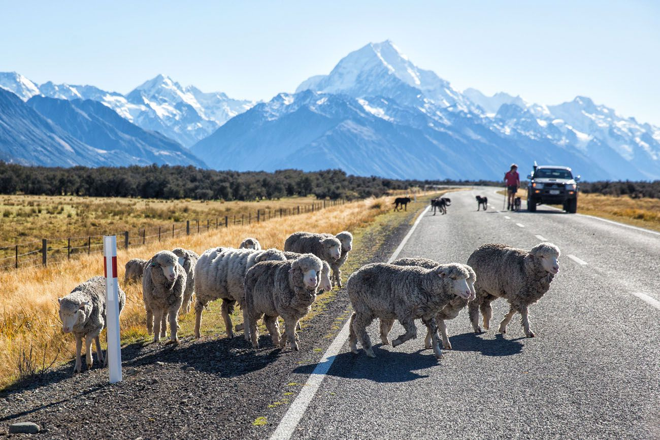 Sheep at Mt Cook