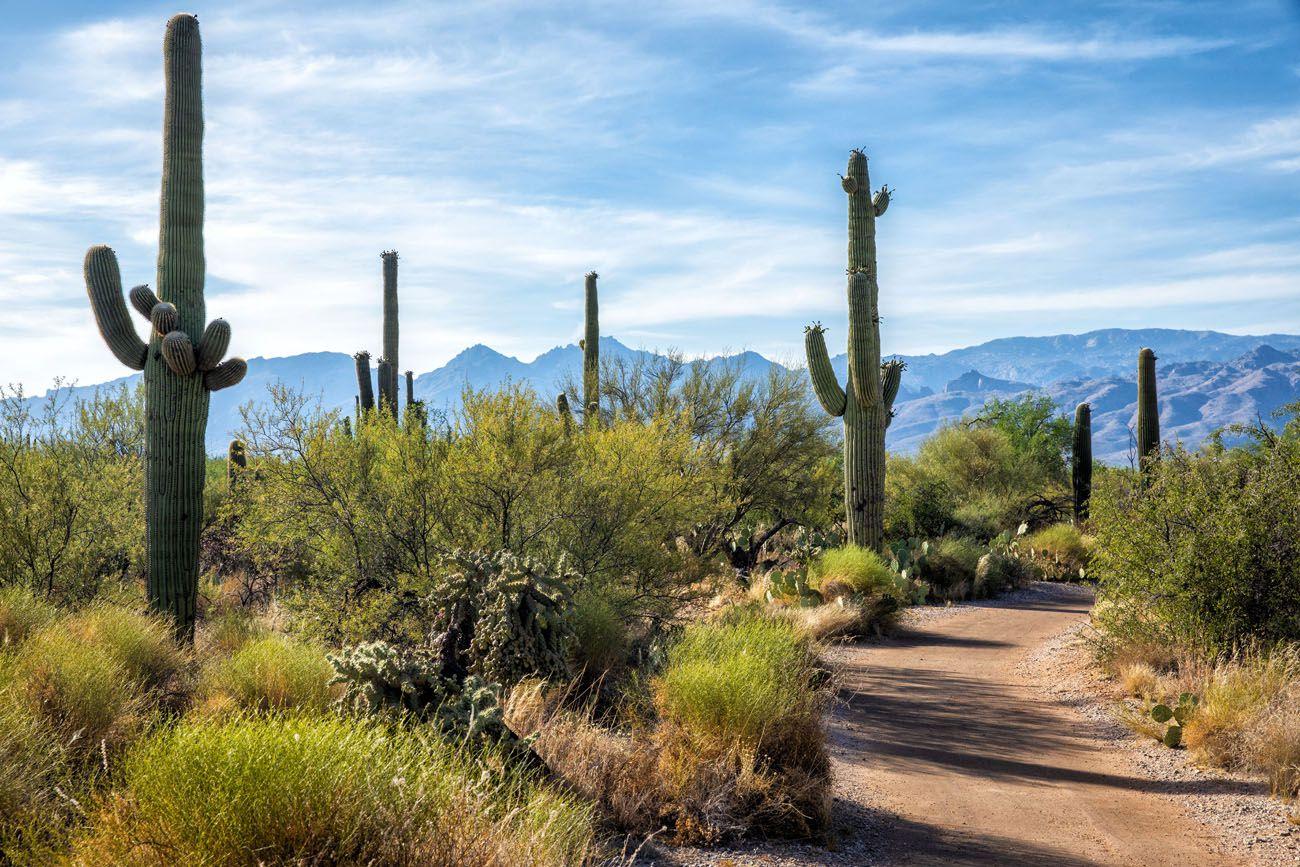 Mica Trail Saguaro