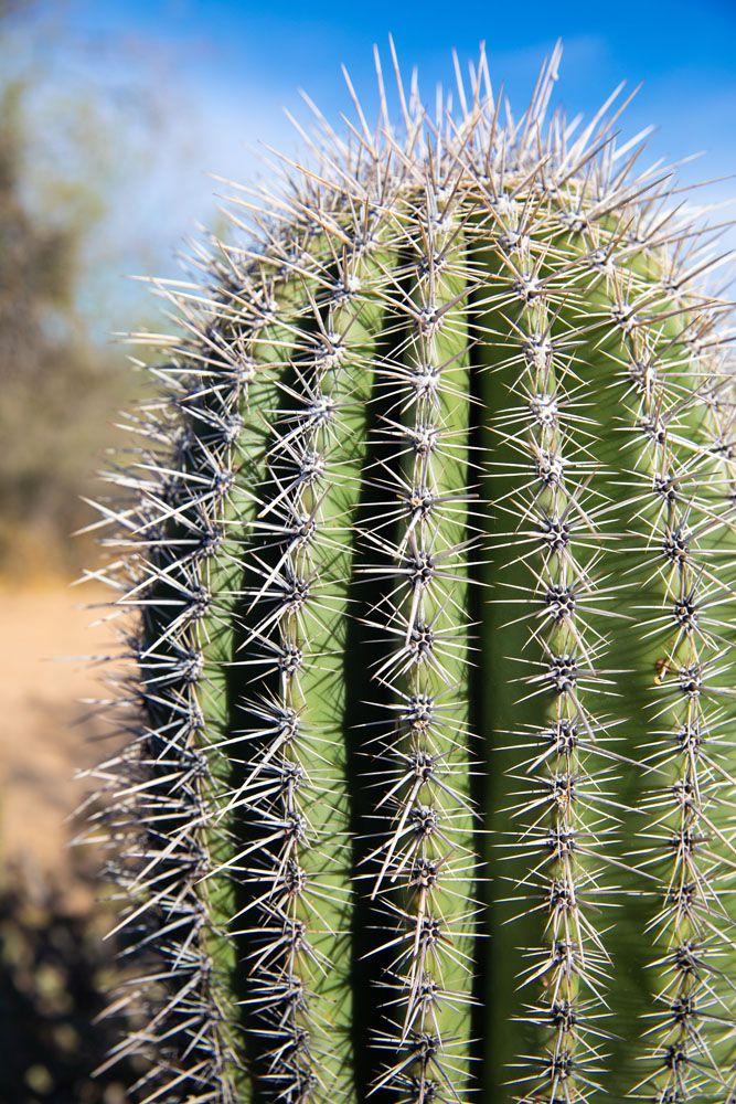 Young Saguaro Cactus