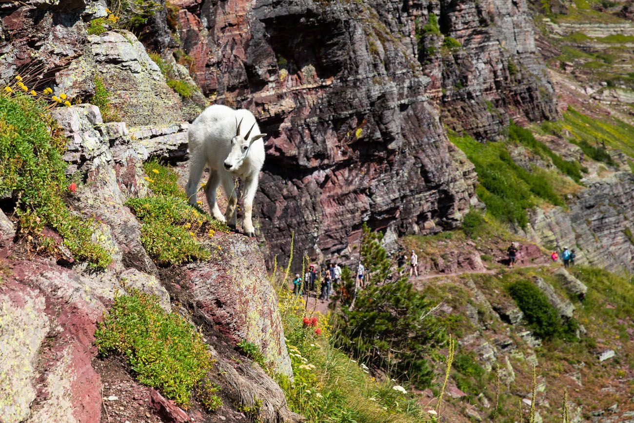 Mountain Goat Grinnell Glacier