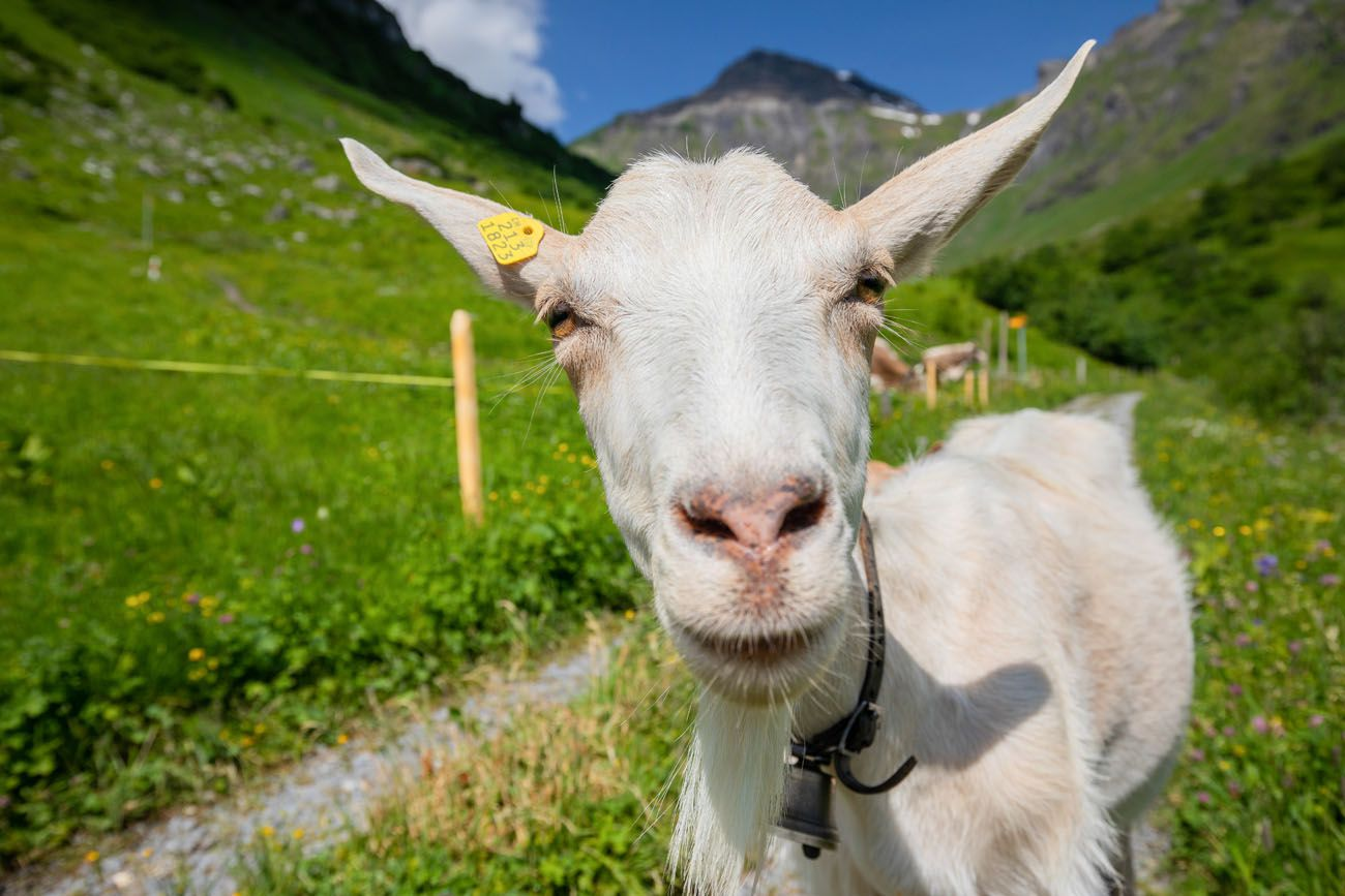 Northface Trail Goat