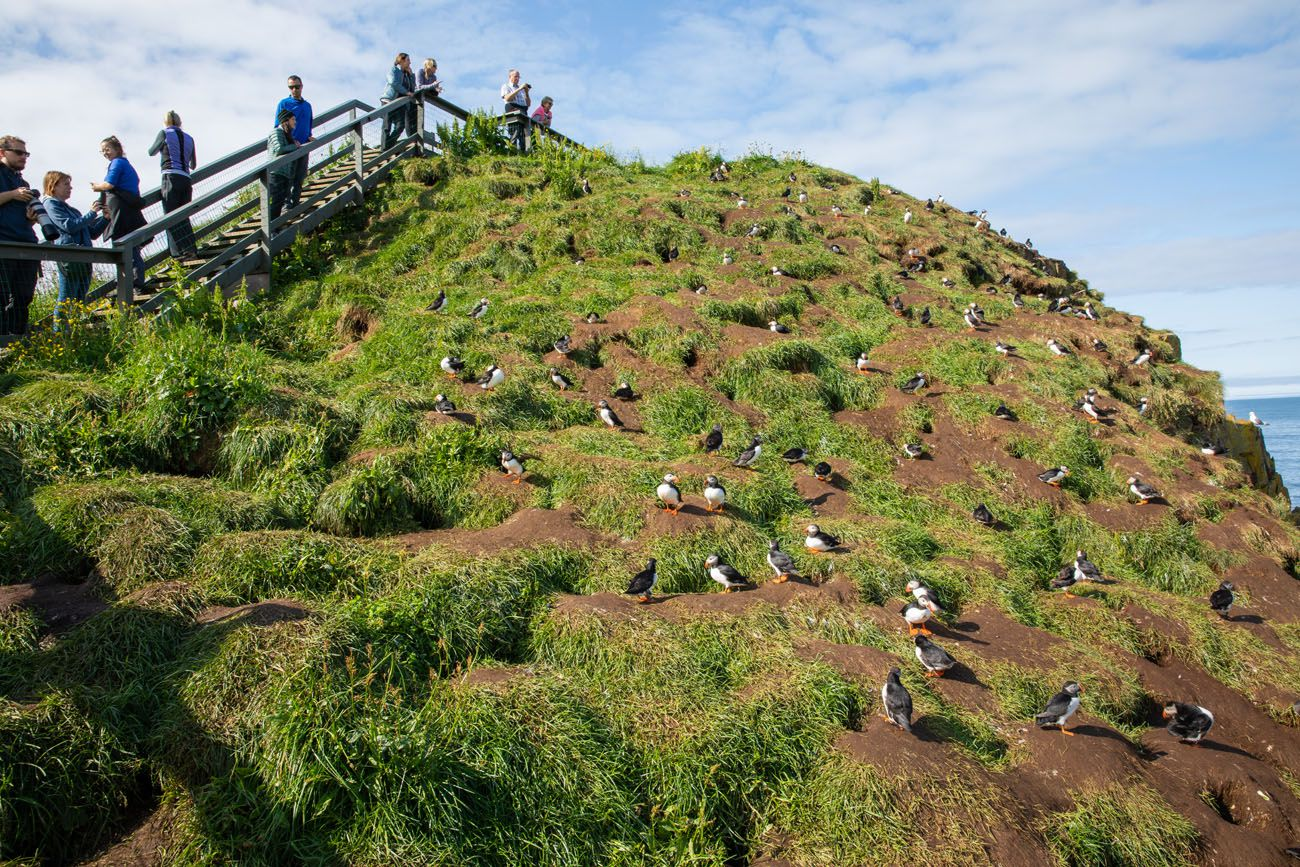 Puffin Boardwalks Iceland