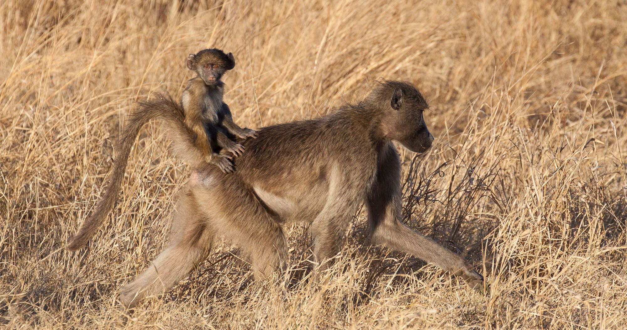 Baboons in Kruger