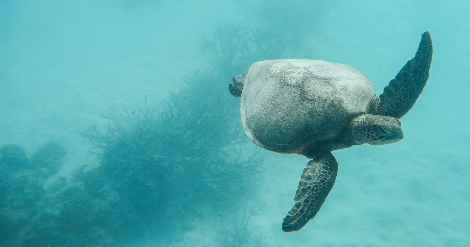 Sea Turtle GBR