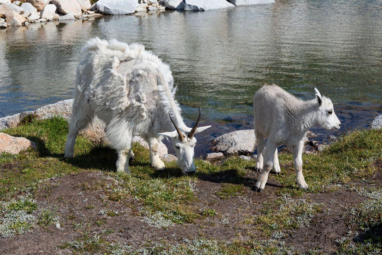 Mountain Goats Enchantments