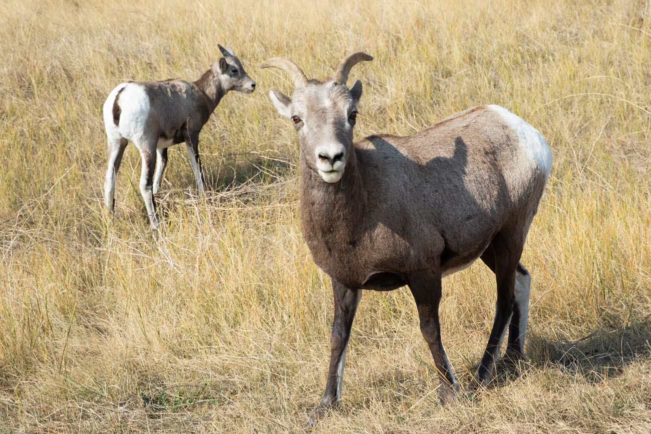 Bighorn Sheep Badlands