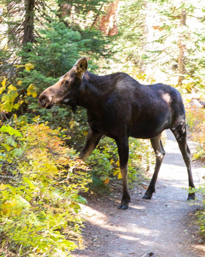Moose in Cascade Canyon