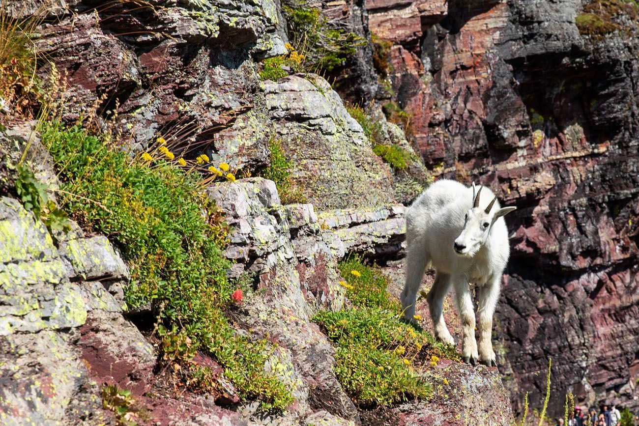 Mountain Goat national parks with kids