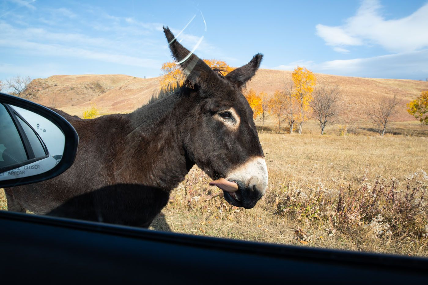 Begging Burros things to do in Custer State Park