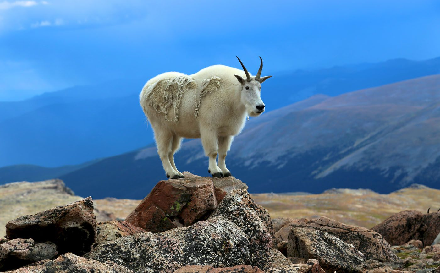 Mountain Goat best scenic drives in Colorado