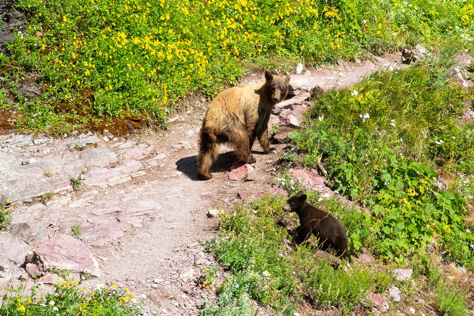 Black Bear on the Grinnell Glacier Trail