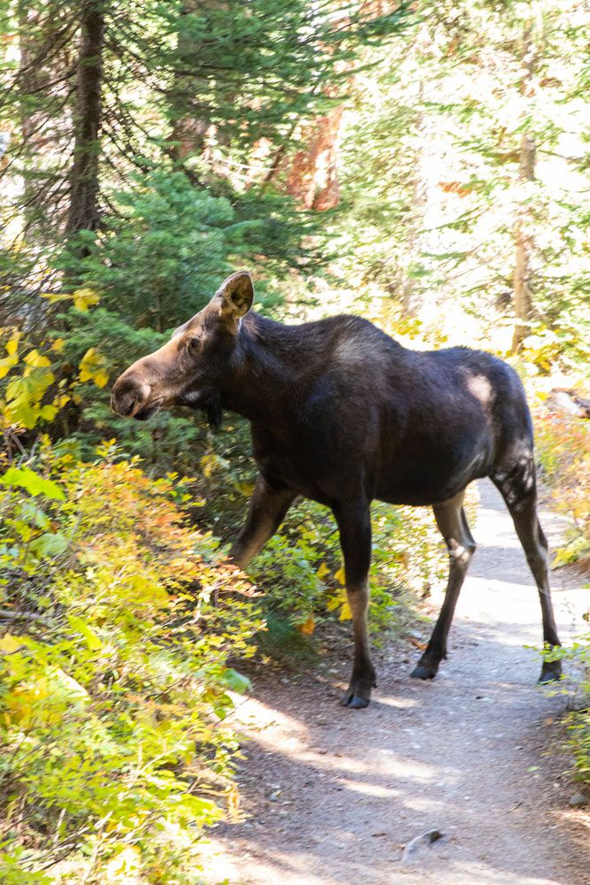 Cascade Canyon Moose one day in Grand Teton