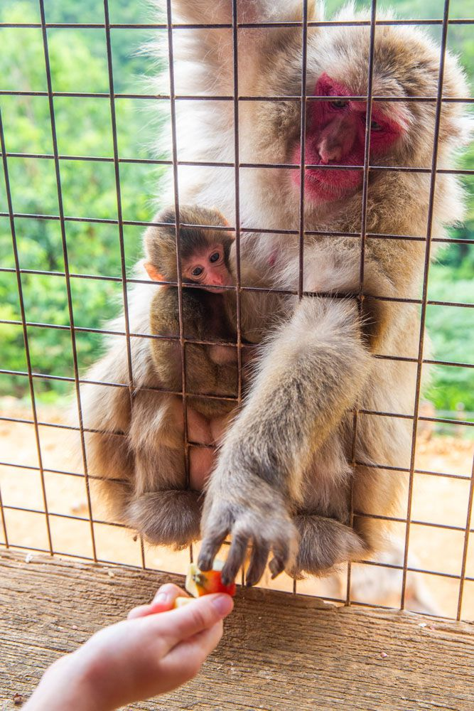 Japanese Macaque best things to do in Kyoto