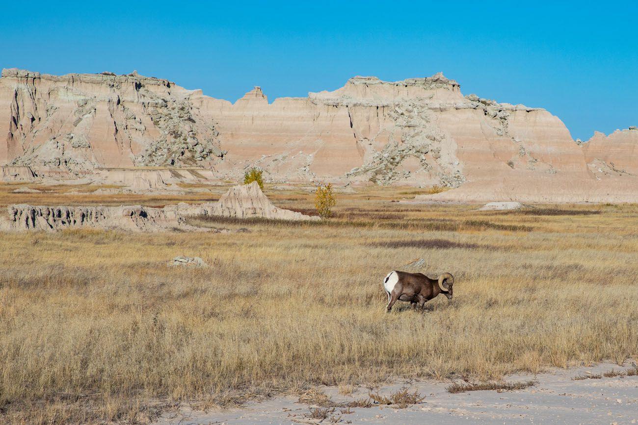 Bighorn Sheep Badlands best hikes in Badlands National Park