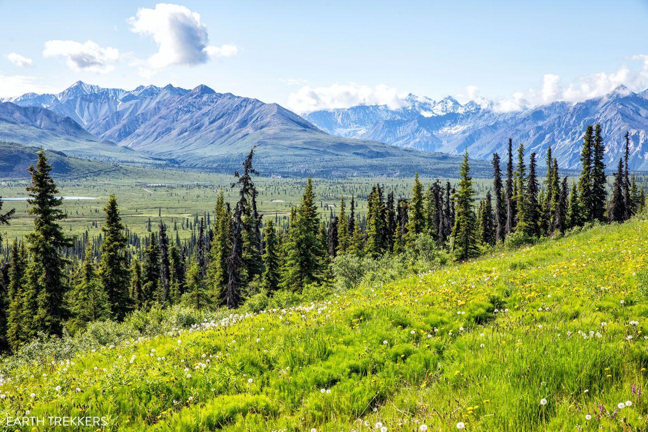 Black Spruce Trees Alaska