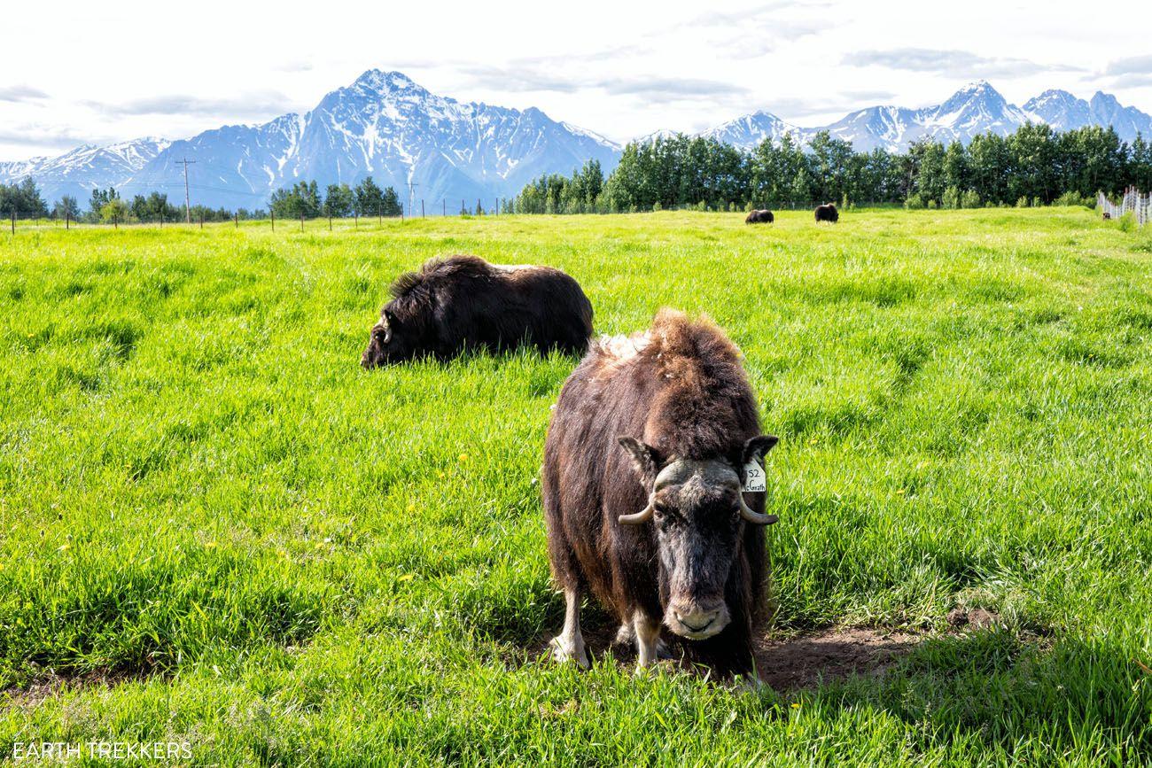 Musk Ox Farm Alaska