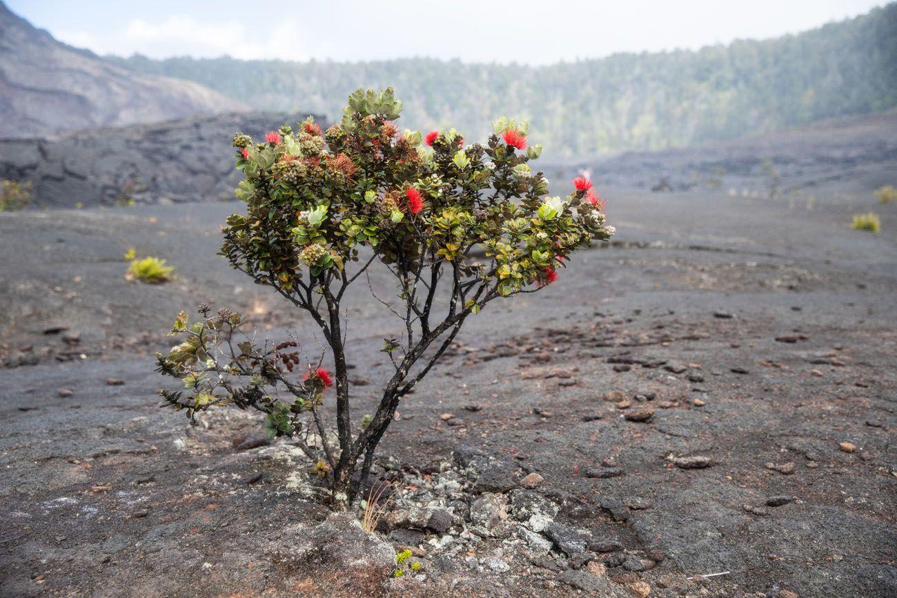 Ohia Plant