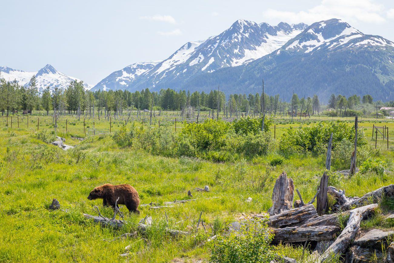 Bear AWCC Seward Highway