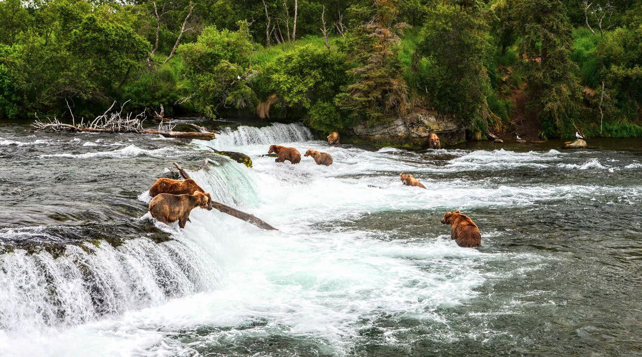 Bear Katmai Photo