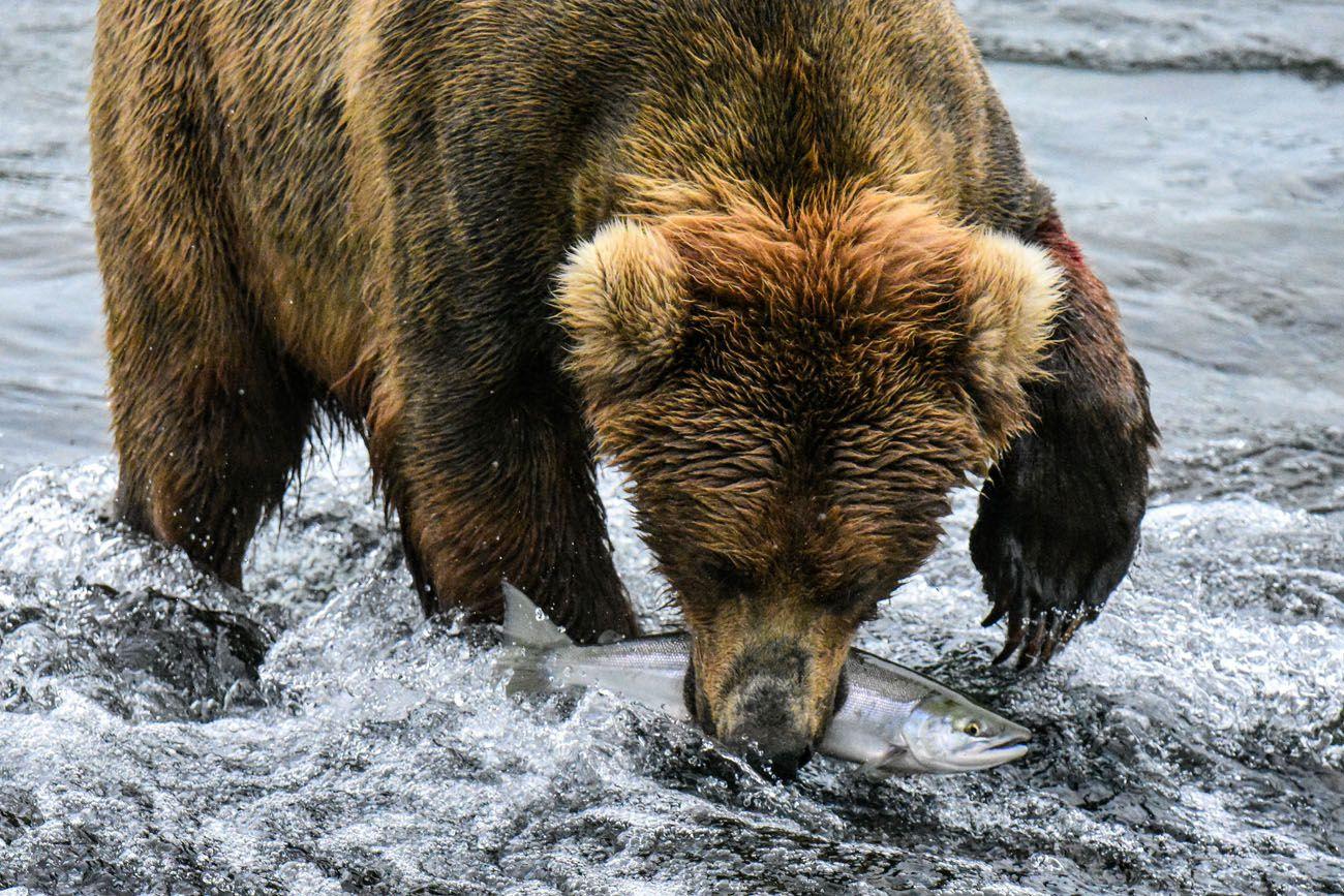 Bear Salmon
